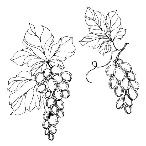 ilustrações de stock, clip art, desenhos animados e ícones de vector grape berry healthy food. black and white engraved ink art. isolated grapes illustration element. - natureza close up