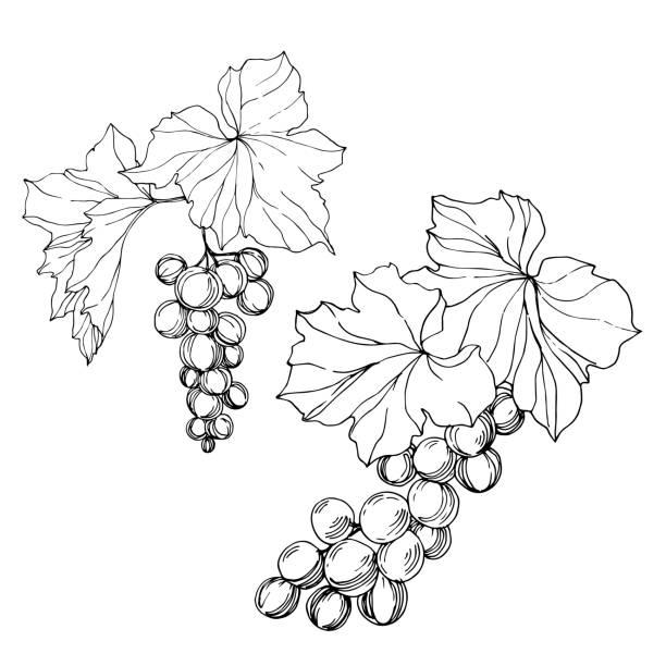 ilustrações de stock, clip art, desenhos animados e ícones de vector grape berry healthy food. black and white engraved ink art. isolated grape illustration element. - natureza close up