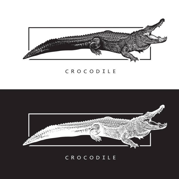 Vector graphic image of American alligator. Black and white illustration of crocodilian reptile, logotype, clipart in engraving style, design element for logo or template. crocodile stock illustrations