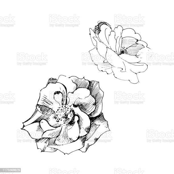 Vector graphic rose print with ink pen vector id1173368629?b=1&k=6&m=1173368629&s=612x612&h=1cruoiknrddxjs2l38burm1dxsq88hzrmlkzt8izhbg=