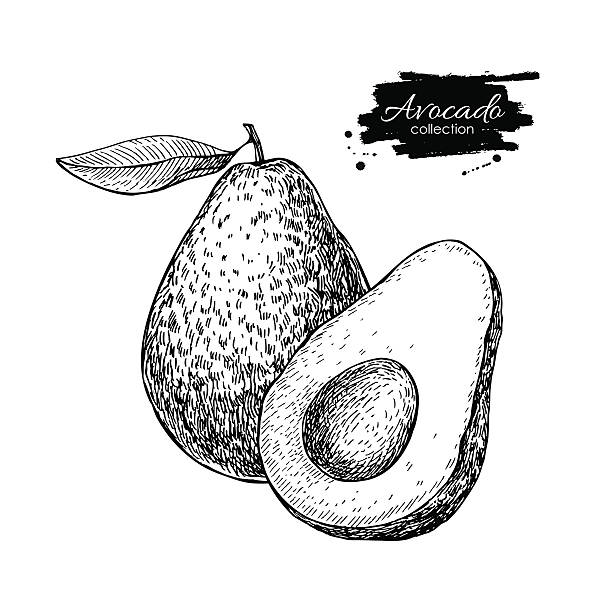 Vector hand drawn avocado and sliced pieces illustration. Vector hand drawn avocado and sliced pieces set. Tropical summer fruit engraved style illustration. Detailed avocado food drawing. Great for label, poster, print avocado stock illustrations