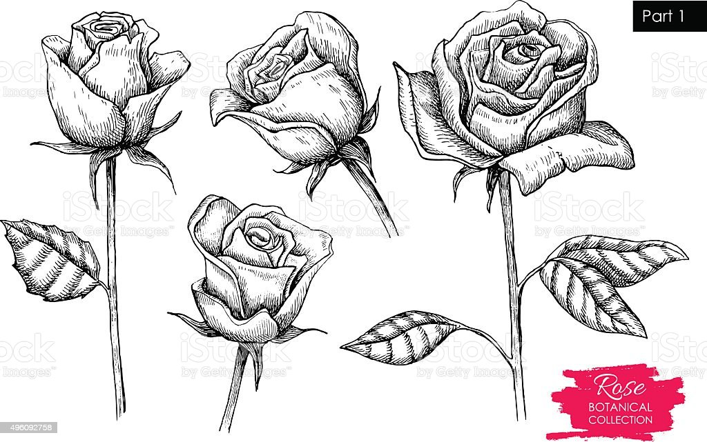 vector hand drawn botanical rose set engraved collection. Black Bedroom Furniture Sets. Home Design Ideas