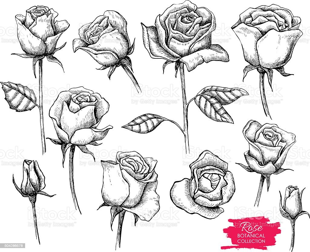 Vector hand drawn botanical rose set. Engraved collection vector art illustration