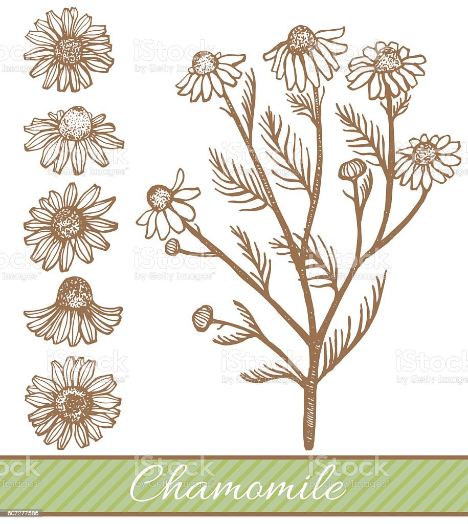 vector hand drawn chamomile illustration vector art illustration