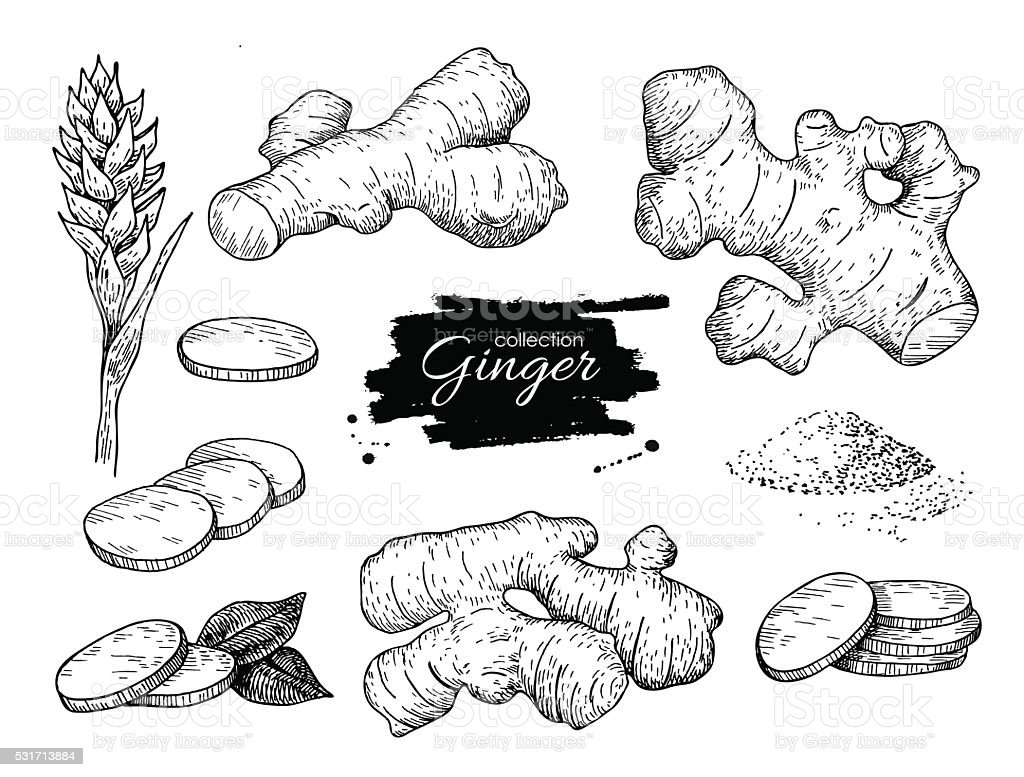 Vector hand drawn Ginger set. Root, ginger pieces and flower. royalty-free vector hand drawn ginger set root ginger pieces and flower stock vector art & more images of aromatherapy