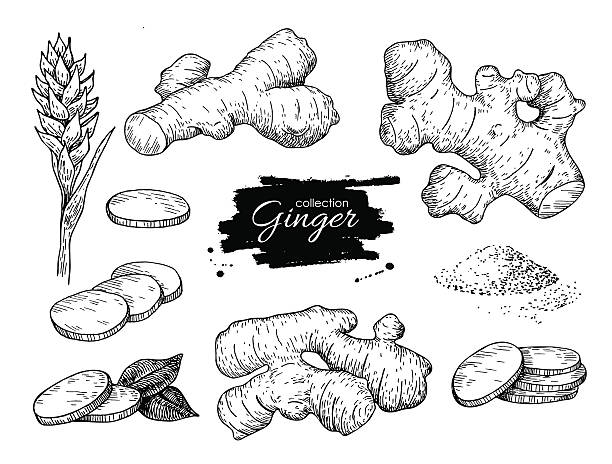 Vector hand drawn Ginger set. Root, ginger pieces and flower. Vector hand drawn Ginger set. Root, ginger pieces and flower. Engraved style illustration. Herbal spice. Detox food ingredient. ginger spice stock illustrations
