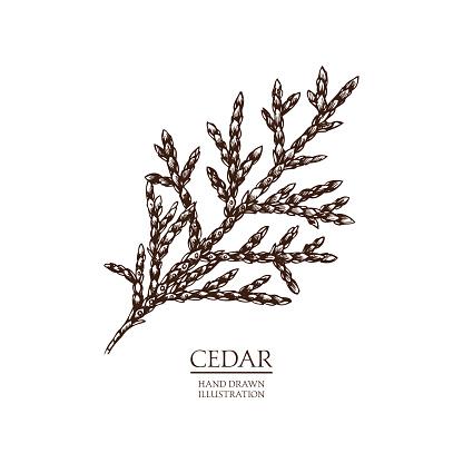 Vector hand drawn illustration of Cedar