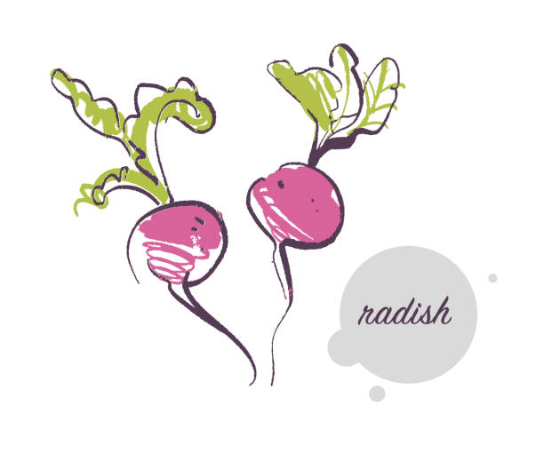 Vector hand drawn illustration of fresh raw radish vegetable isolated on white background. Vector hand drawn illustration of fresh raw radish vegetable isolated on white background. Sketch style. Healthy food element. Good for menu, banner, packaging design etc. radish stock illustrations