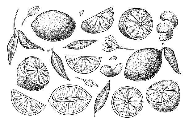 Vector hand drawn lime or lemon set. Vector hand drawn lemon set. Whole lemon, sliced pieces, half, leafe and seed sketch. Tropical summer fruit engraved style illustration. Detailed citrus drawing. Great for tea, juice, lemon water lemon fruit stock illustrations