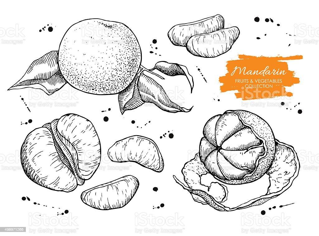 Vector hand drawn mandarin set. Engraved collection vector art illustration