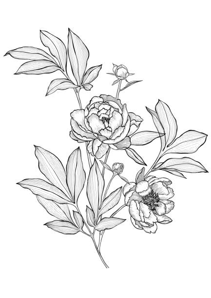 Vector hand drawn peonies isolated. Flowers bouquet. Outline sketch detailed line drawing. Line art flowers. Vector tattoo peonies with leaves on white background. Detailed outline sketch drawing. Contour graphic. flower head stock illustrations