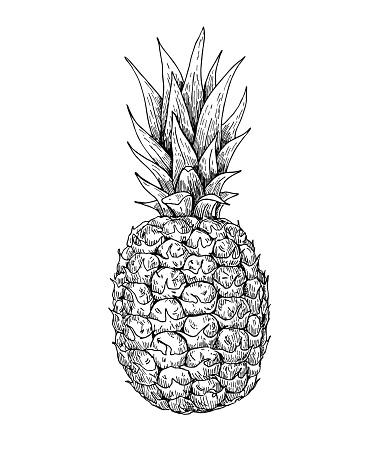 Vector hand drawn pineapple. Summer fruit engraved style illustr