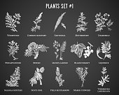 Vector hand drawn plants set. Vintage illustration. Retro collection with wormwood, mugwort, santonica, motherwort, chamomile, pineappleweed, blackcurrant and others