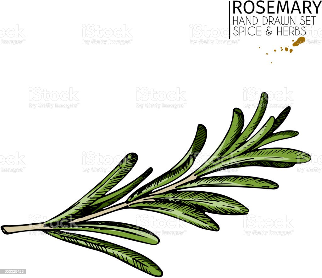 Vector hand drawn rosemary branch. Colored vintage art. Herbs and spices. Fresh green italian cuisine. vector art illustration