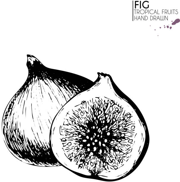 Vector hand drawn set of exotic fruits. Ioslated fig. Engraved art. Delicicous tropical vegetarian objects. Vector hand drawn set of exotic fruits. Isolated fig and half. Engraved art. Delicious tropical vegetarian objects. Use for restaurant, meal, market, store, menu, party decoration, smoothie bowls. fig stock illustrations