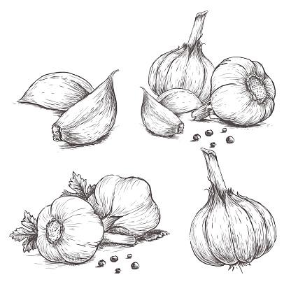Vector hand drawn set of garlic.