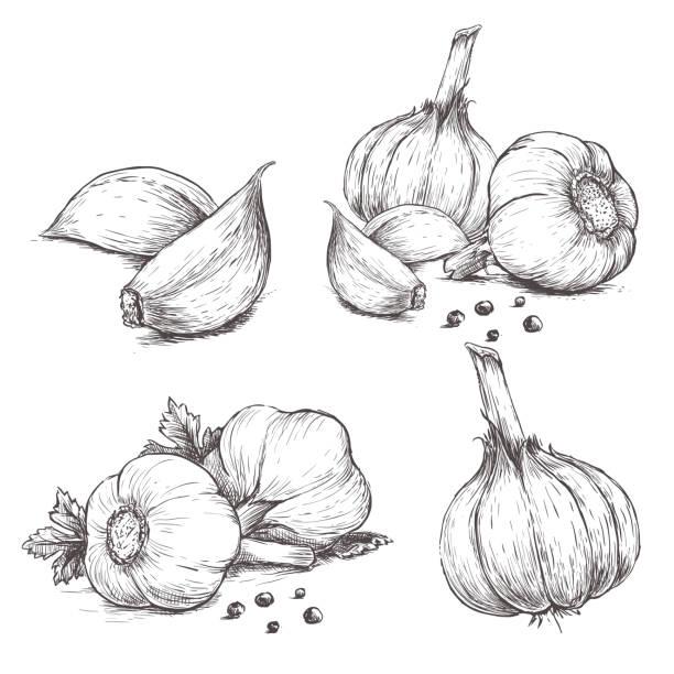 Vector hand drawn set of garlic. Vector hand drawn set of garlic. Herbs and spices sketch illustration garlic stock illustrations
