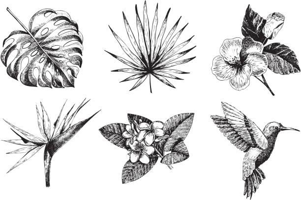 vector hand drawn tropical plant icons. exotic engraved leaves and flowers. monstera, livistona palm leaves, bird of paradise, plumeria, hibiscus, hummingbird. - hummingbird stock illustrations