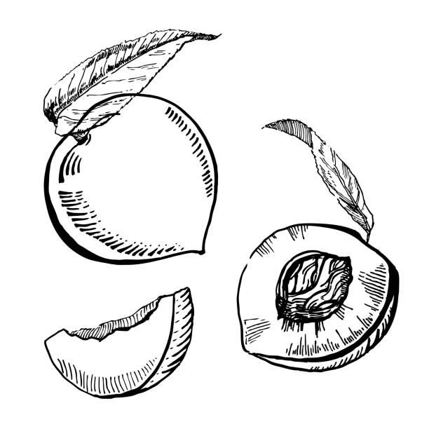vektor-handgezeichnete zwei schwarze und weiße tinte pfirsiche mit blättern und scheibe - nektarinenmarmelade stock-grafiken, -clipart, -cartoons und -symbole