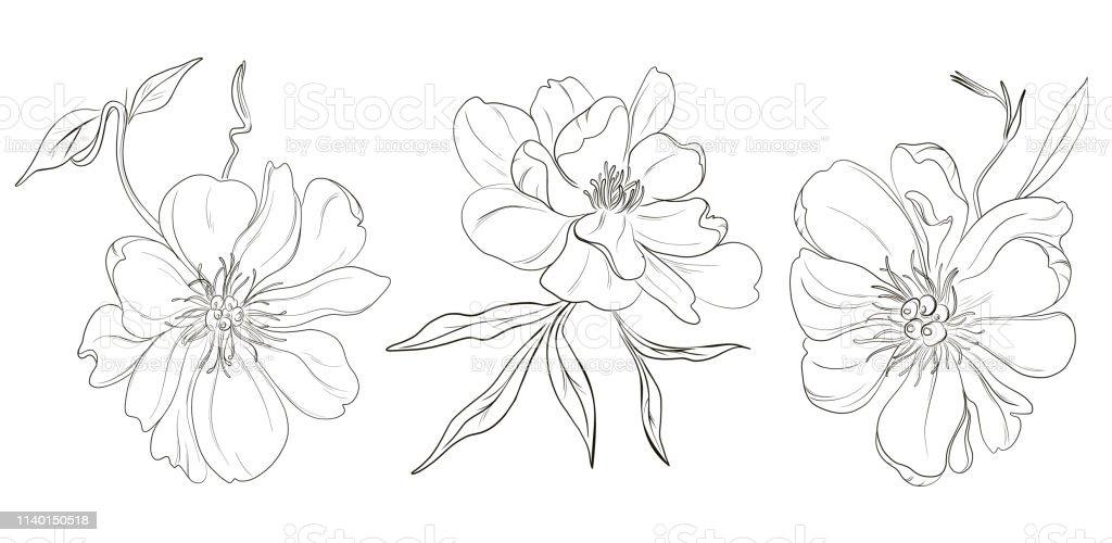 Vector Handdrawn Black White Peony Flowers Drawings