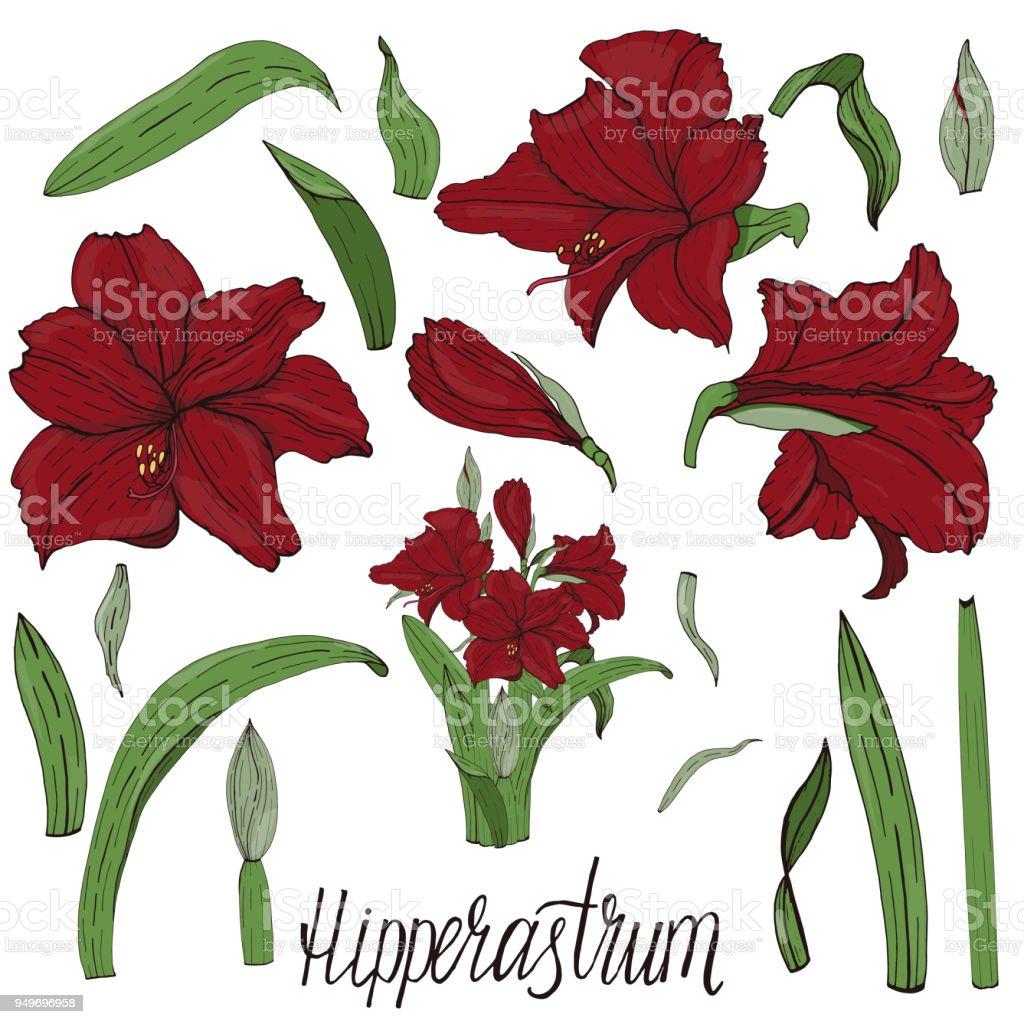 Vector handpainted Amaryllis (Hipperastrum) flowers vector art illustration