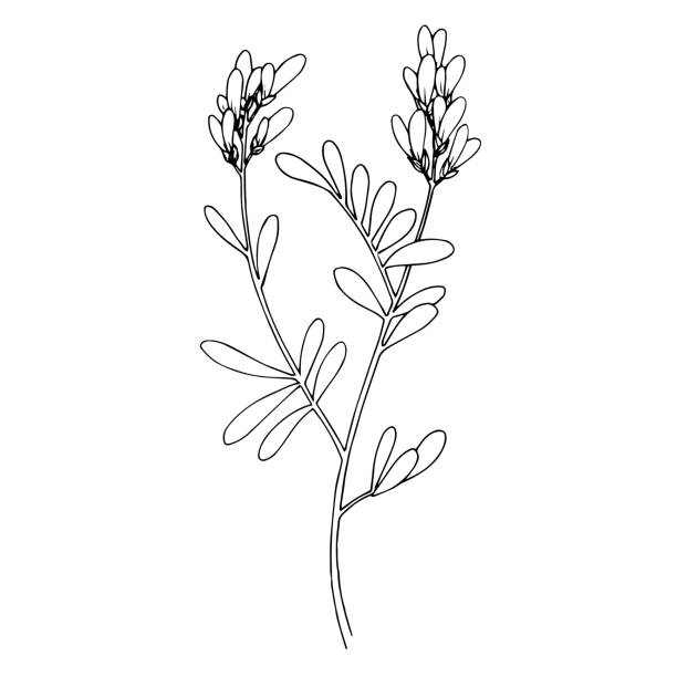 ilustrações de stock, clip art, desenhos animados e ícones de vector herbal floral foliage. black and white engraved ink art. isolated herbal illustration element. - natureza close up