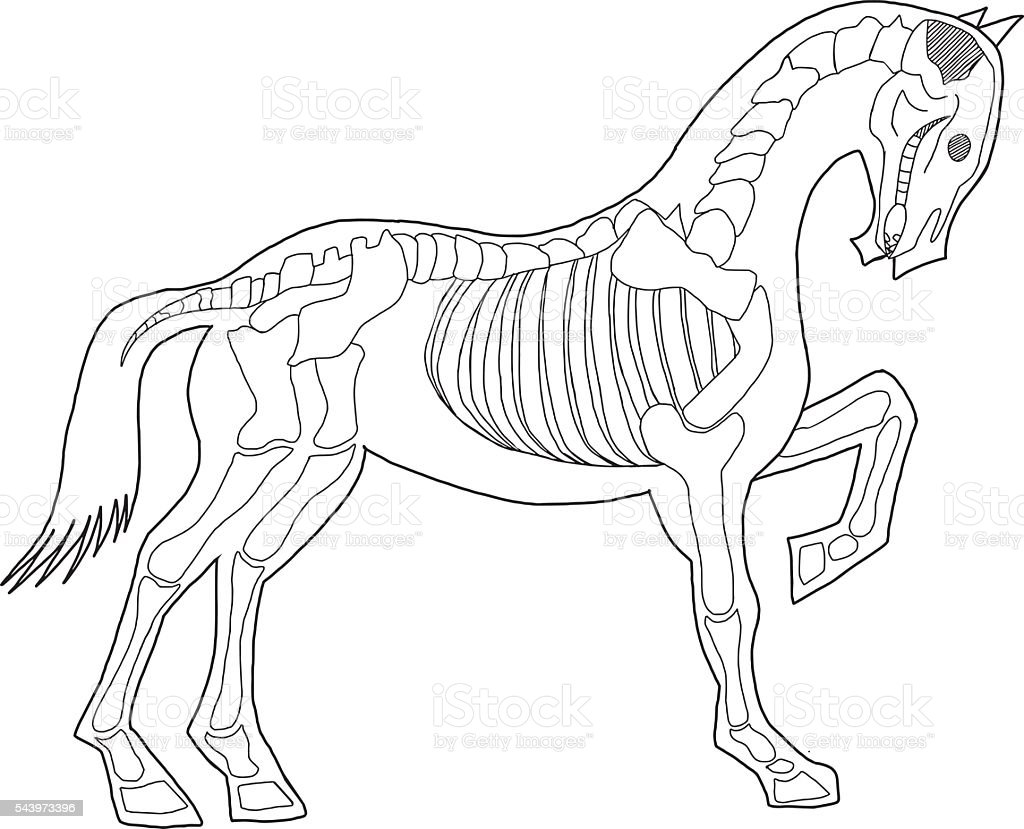 Vector Horse Skeleton Stock Vector Art & More Images of Anatomy ...
