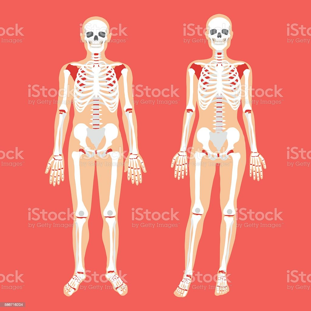 Vector Human Anatomy Skeletal System Female And Male Bodies