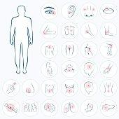vector human anatomy