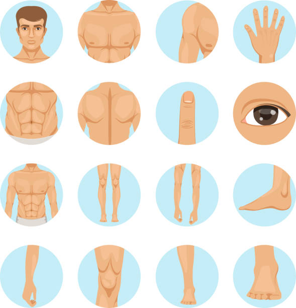 Vector human. Different parts of man body vector art illustration