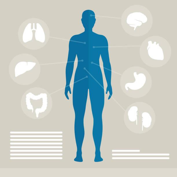 illustrazioni stock, clip art, cartoni animati e icone di tendenza di vettore organi umani - il corpo umano