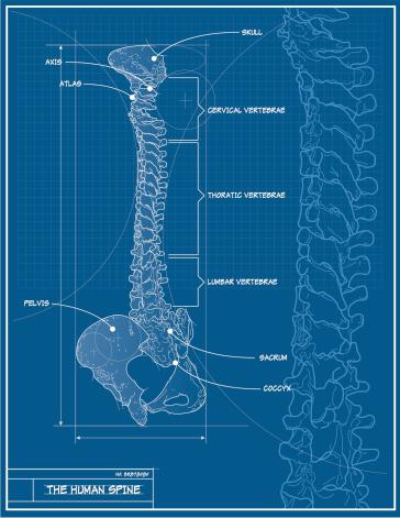 Vector Human Spine Blueprint