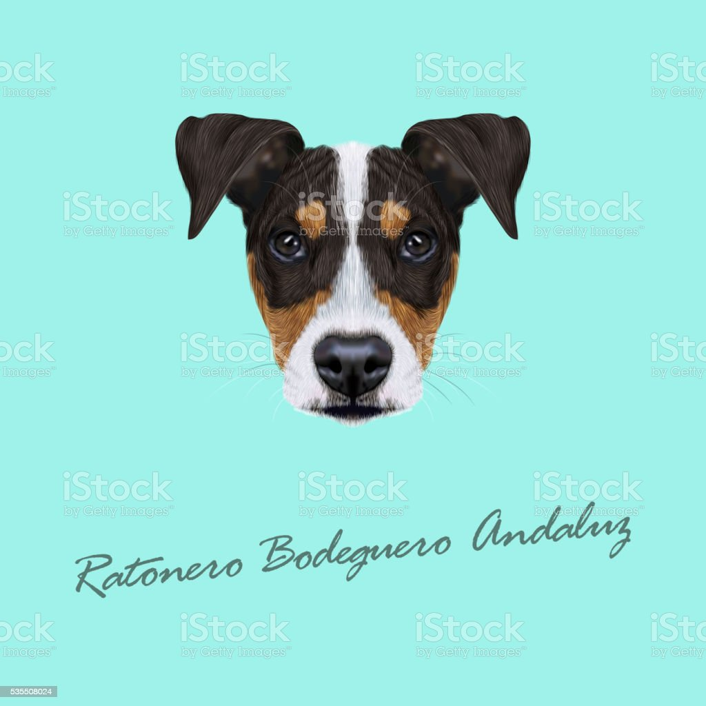 Vector illustrated Portrait of Ratonero Bodeguero Andaluz dog. vector art illustration