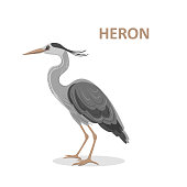 Vector illustration, a cartoon beautiful Great-billed Heron. Isolated on a white background. Bird alphabet.