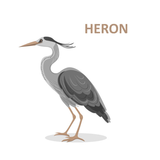 Vector illustration, a cartoon beautiful Great-billed Heron. Isolated on a white background Vector illustration, a cartoon beautiful Great-billed Heron. Isolated on a white background. Bird alphabet. heron stock illustrations