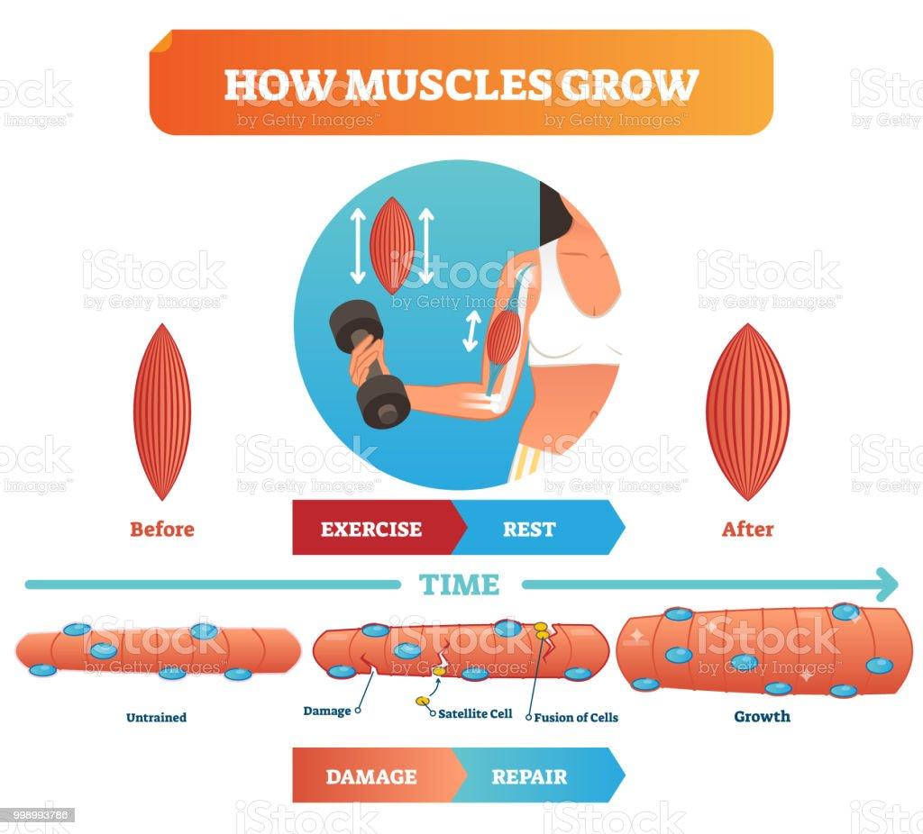 Vektorillustration über Wie Muskeln Wachsen Medizinische Ausbildung ...