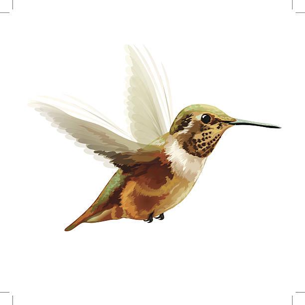 vector illustration: anna's hummingbird - hummingbird stock illustrations