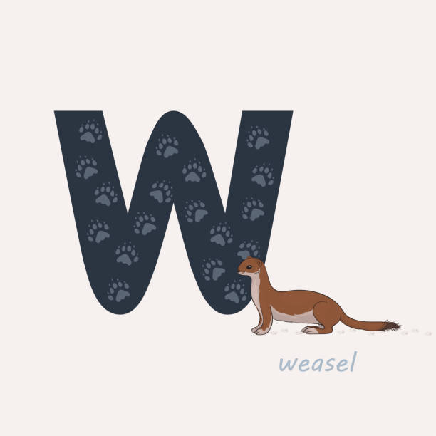 Vector illustration. Blue letter W with weasels footprints, a cartoon weasel. Animal alphabet. Vector illustration. Dark blue letter W with weasel tracks, a cartoon weasel. Animal alphabet. ermine stock illustrations