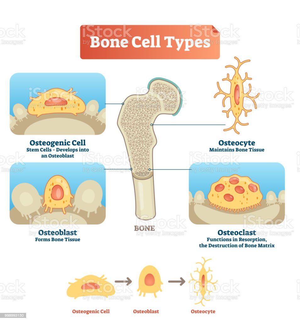 Vector Illustration Bone Cell Types Diagram Scheme Of Osteogenic