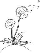 Vector illustration. dandelion. Black outline sketch