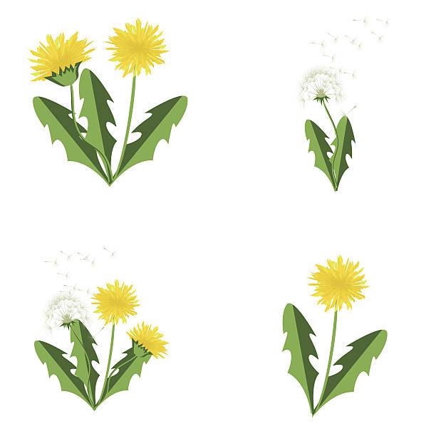 illustrations, cliparts, dessins animés et icônes de vector illustration dandelions set with leaves. - plante sauvage