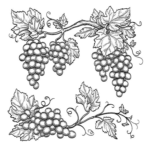 Vector illustration grape branches vector art illustration