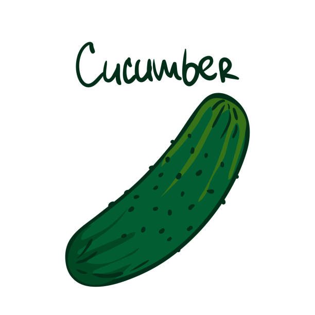 Vector illustration. Green cucumber. Healthy vegetarian food. Ingredient for salad. Decoration for patches, signboards, showcases, menus. Isolated on white background. Vector illustration. Green cucumber. Healthy vegetarian food. Ingredient for salad. Decoration for patches, signboards, showcases, menus. Isolated on white background. pickle slice stock illustrations