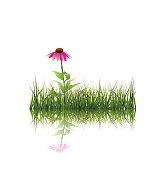 Vector illustration Green grass and echinacea purpurea ( purple coneflower) flower  with reflection on ground. Isolated on white background with copy space. Blank space for content or your design