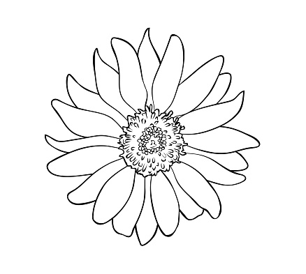 Vector illustration, isolated sunflower flower in black and white colors, outline hand painted drawing