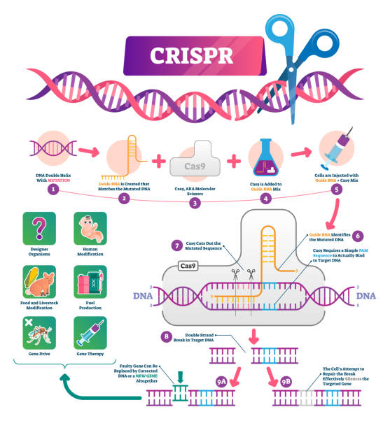 CRISPR vector illustration. Labeled clustered regularly palindromic repeats CRISPR vector illustration. Labeled clustered regularly palindromic repeats educational scheme. Diagram with explained gene RNA and DNA modification process and uses. Molecular mutation infographic. amino acid stock illustrations