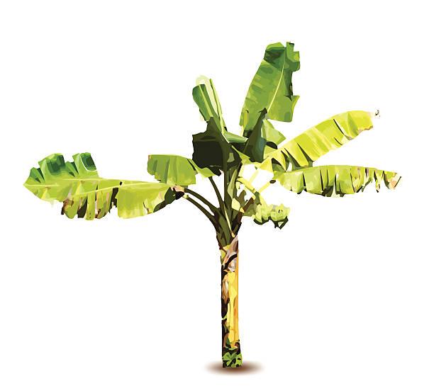 Vector illustration of a banana tree vector art illustration