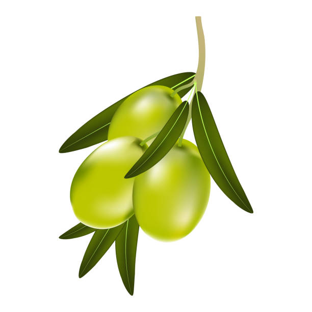 Vektor-Illustration eines Zweigs des grünen Oliven mit Blätter auf einem weißen Hintergrund – Vektorgrafik