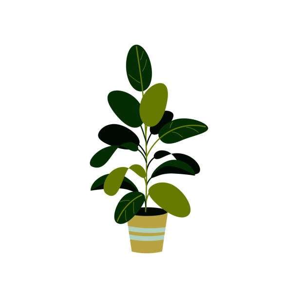 Best Rubber Plant Illustrations, Royalty-Free Vector ...