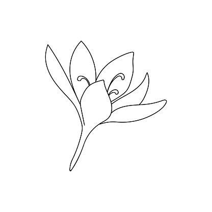 Vector illustration of a single crocus saffron flower linear drawing. Botanical illustration by line